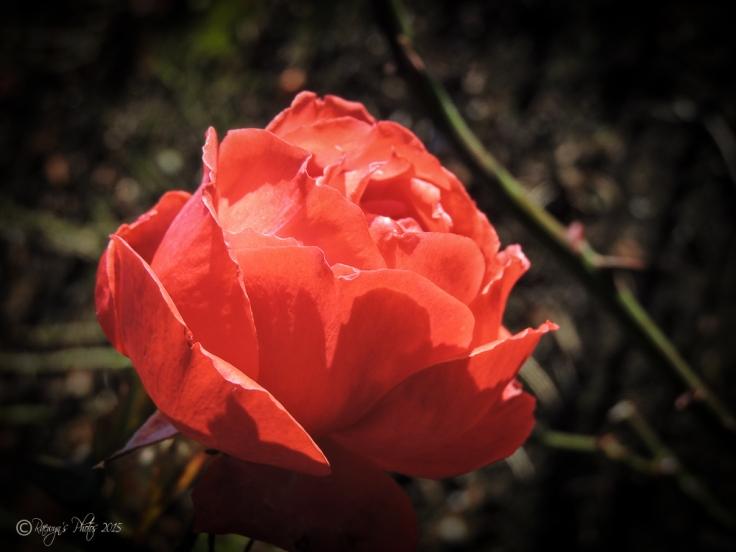 Red Rose: Love, Romance